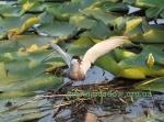 Крячок річковий